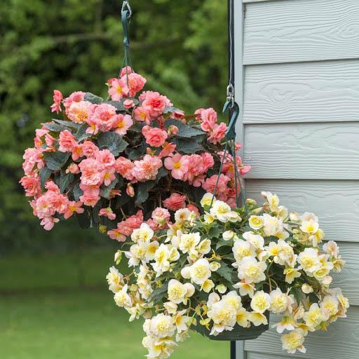 Bình gốm cắm hoa Hải Đường ngày Tết quận 1